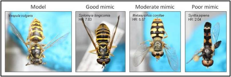 Small hoverfly mimicry gallery
