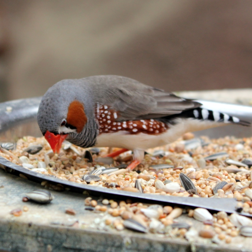 A zebra finch paused just long enough for me to get a (partially in focus) shot...