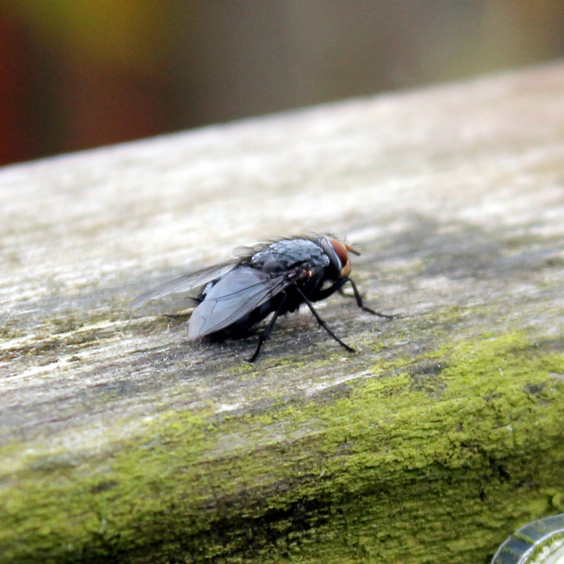 Probably my favourite photo from the day was this little muscid fly outside the tropical house. Natural light is so much easier than indoors!