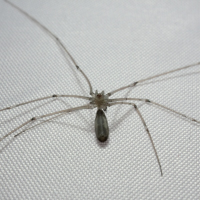 """A ventral (stomach) view. This species is quite easy to confuse with a harvestman (related to spiders, but not spiders), if you don't know what to look for. To tell harvestmen from spiders, look for the join between the thorax (the body segment with legs) and the abdomen (the segment that doesn't have legs). If you can see the join clearly where there is a """"pinched-off"""" section then it is a spider. Harvestmen have fused segments so that it looks like the thorax and abdomen are one."""